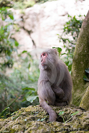 Free Formosan Rock Macaque Royalty Free Stock Photo - 18336185