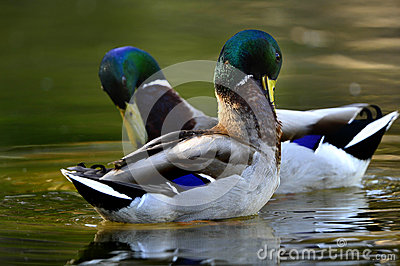 Forragem dos patos