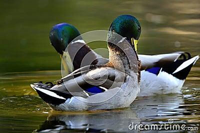 Forraje de los patos
