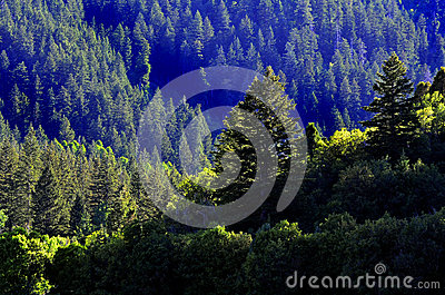 Forrest av sörjer träd