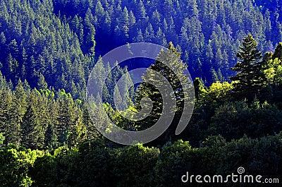Forrest de los árboles de pino
