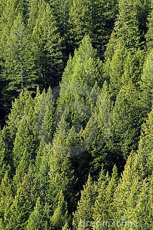 Forrest of Pine Trees