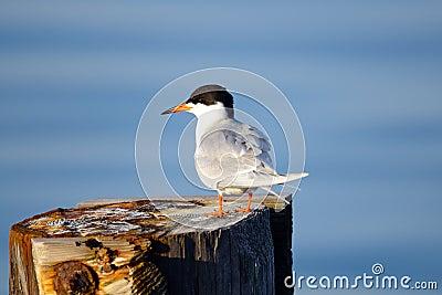 Forster s Tern
