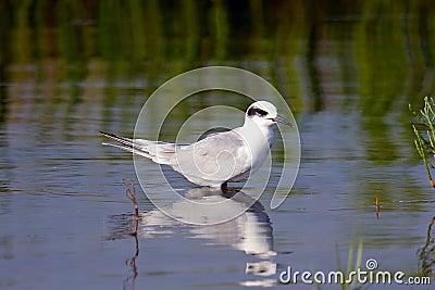 Forster s Tern Juvenile