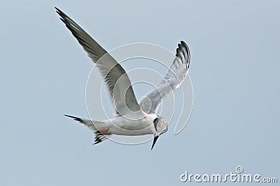 Forster tern s
