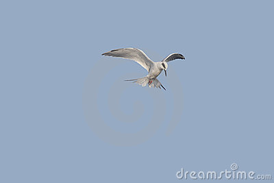 Forsters Tern Hovering on Blue Sky