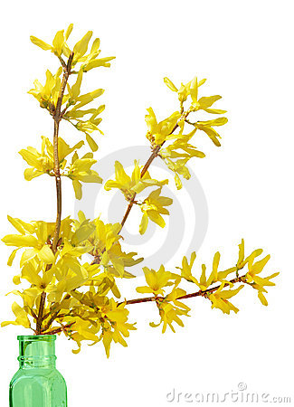 Free Forsythia Royalty Free Stock Photo - 9136595