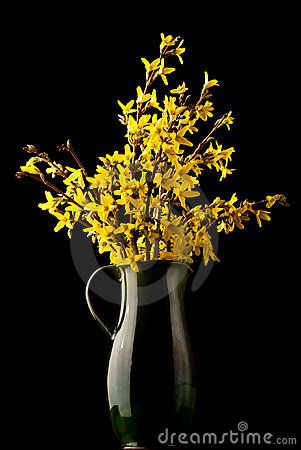 Forsythia flower in bloom