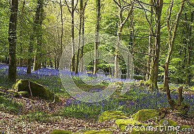 For t magique et fleurs sauvages de jacinthe des bois photo stock image 42116439 - Jonquille sauvage des bois ...