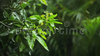 Forte pioggia tropicale Focalizzazione delle foglie stock footage