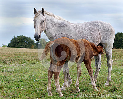 Foster Mare and Suffolk Punch Foal