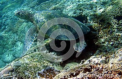 Foto de uma tartaruga de mar verde