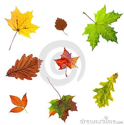 Foto di permesso di autunno dell acero isolata su bianco