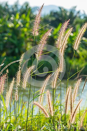 Free Fountain Grass Stock Image - 30286241