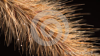 Fountain Grass on black background