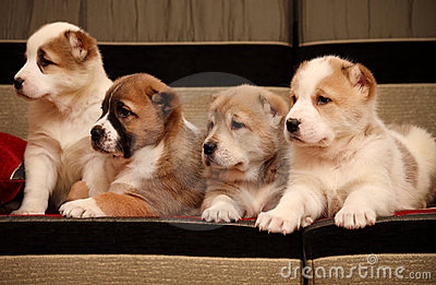 Four Alabai puppy sitting on the sofa