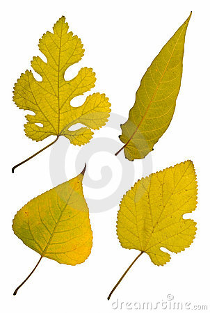 Four autumn leaves on white