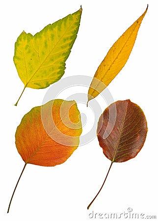 Four autumn leaves on white