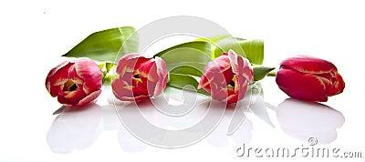 Four beautiful tulips