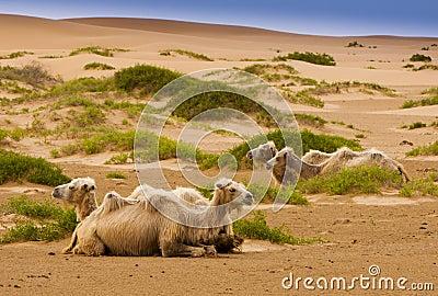 Four camel in desert
