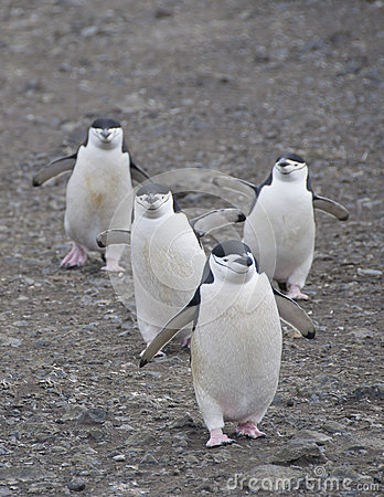 Four chinstrap penguins