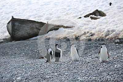 Four Chinstrap penguins in Antarctica