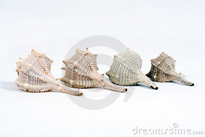Four conch seashells
