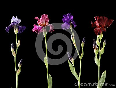 Four different irises