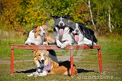 Four dogs border collie portrait