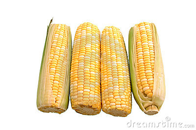 Four Ears of Corn Over White