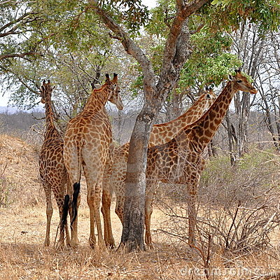 Four giraffes resting under tree,Kruger NP