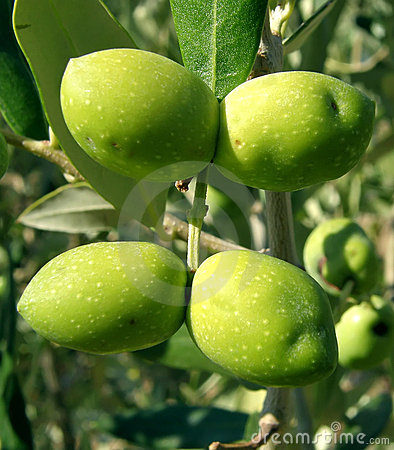 Four green olives tree