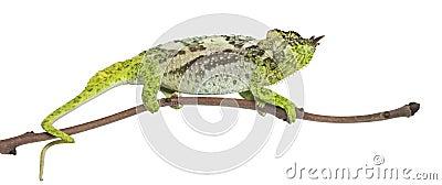 Four-horned Chameleon, Chamaeleo quadricornis
