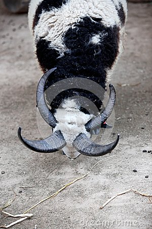 Four horns Goat