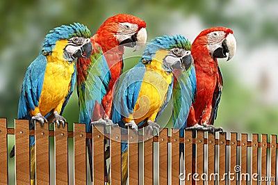 Four large parrot