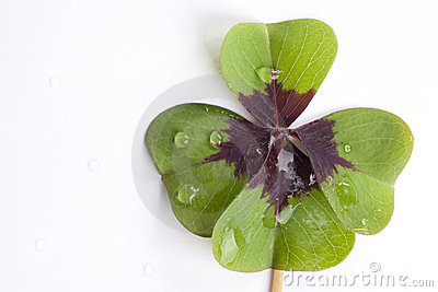 Four leaf clover shamrock water