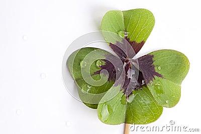 Four leaf clover shamrock water