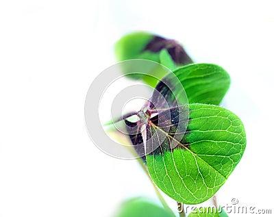 A four leaf lucky clover