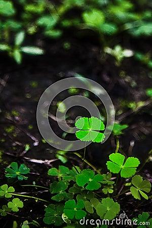 Four leaves lucky clover
