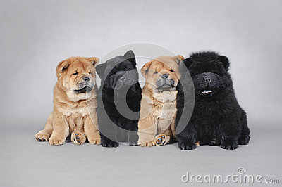 Four little Chow chow  puppies portrait