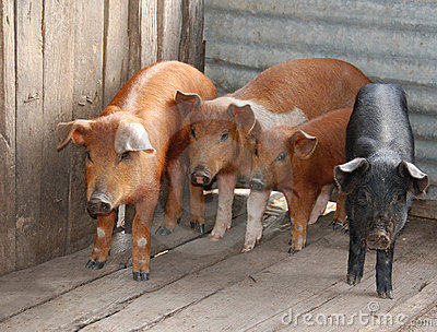 Four Little Pigs