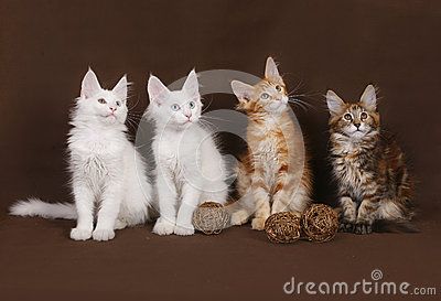 Four Maine Coon kittens