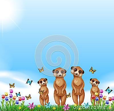 Four meerkats standing in the field
