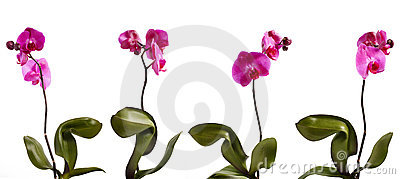 Four orchid