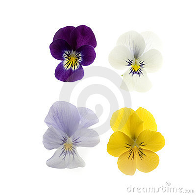 Free Four Pansies On White Royalty Free Stock Images - 705919