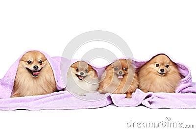 Four puppy spitz dog under a blanket