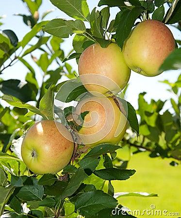 Four reddening apples