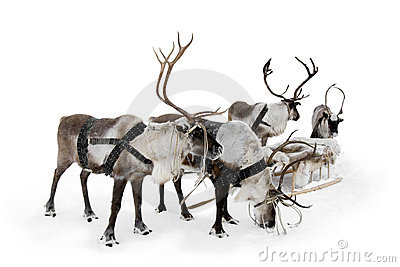 Four reindeer