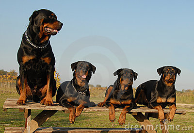 Four rottweilers