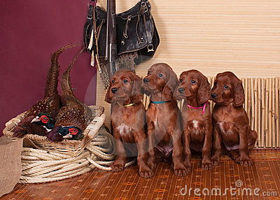 Four setters puppies and pheasants